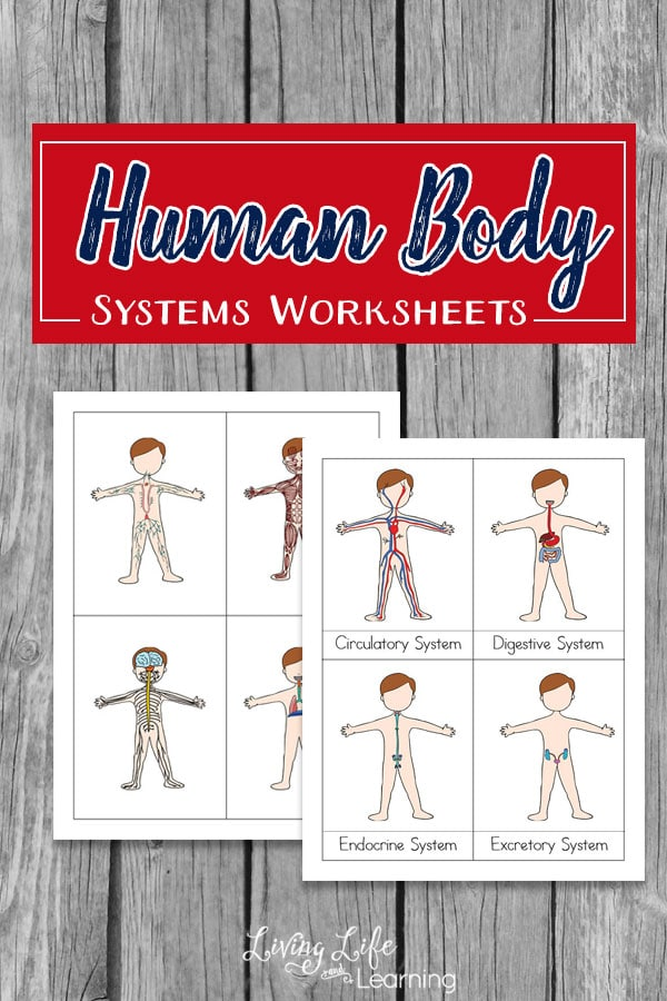 Human body system worksheets for kids teach them the functions of the different body system in our bodies.