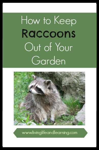How to keep raccoons out of your garden How to keep raccoons out of garden