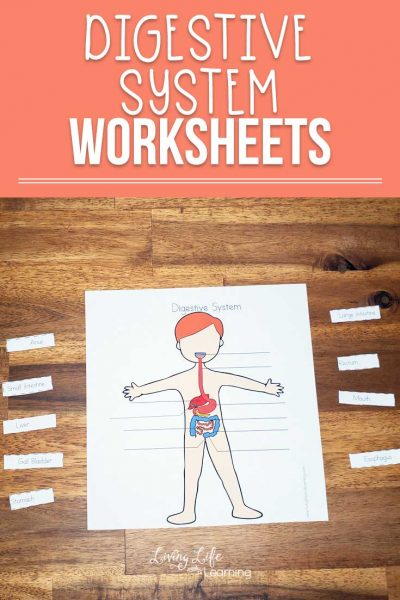 These great Digestive System Worksheets for Kids will help your child learn about their body and there are worksheets for both males and females as well. Learn how food travels through the human body.