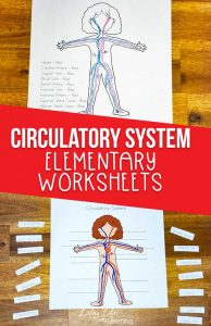 circulatory system printable worksheets