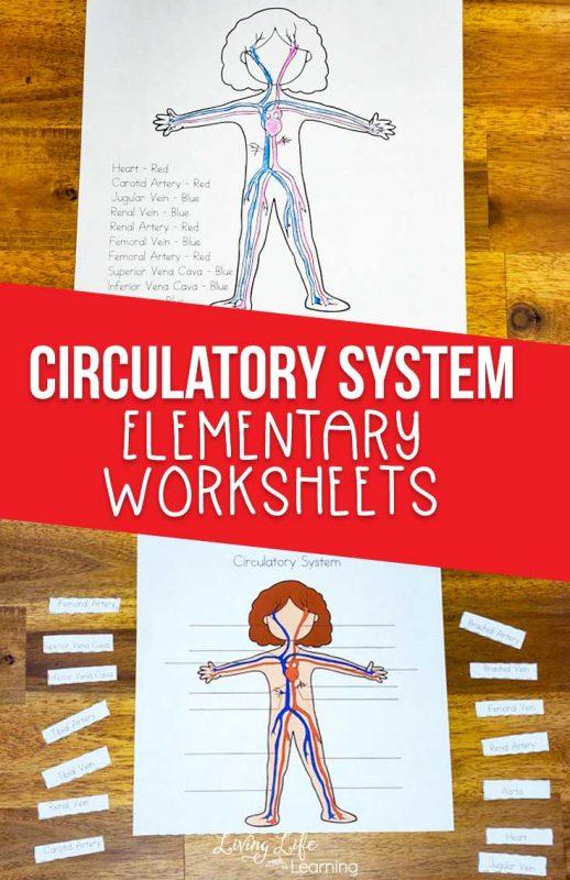 circulatory system printable worksheets
