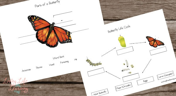 Life Cycle of a Butterfly Worksheets – Butterfly Worksheet