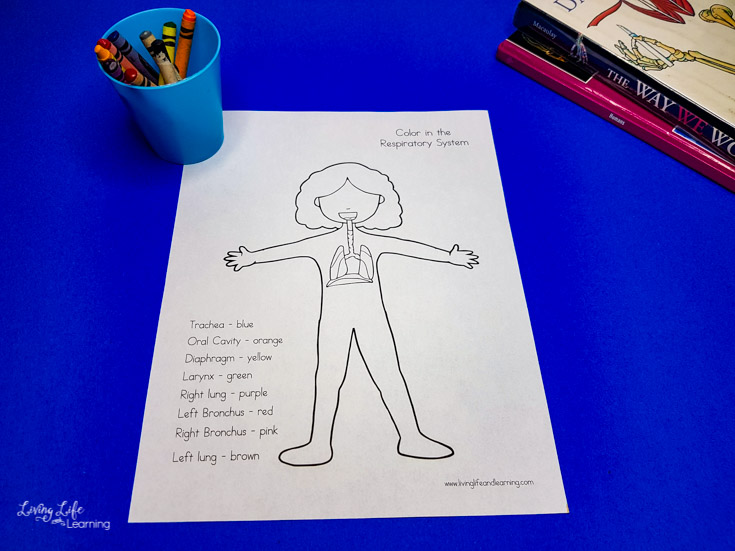 human body respiratory system coloring page