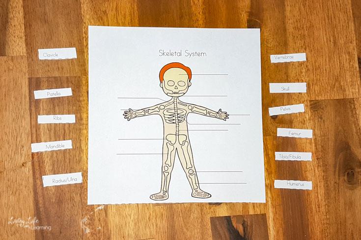 Printable skeletal system worksheets