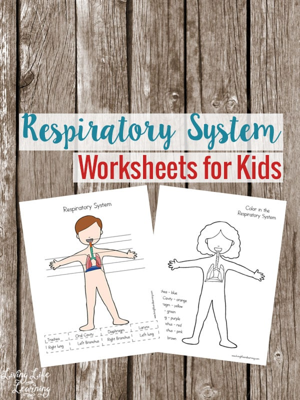 Learn all about the human body and now see how our body gets oxygen with these Respiratory System Worksheets for Kids