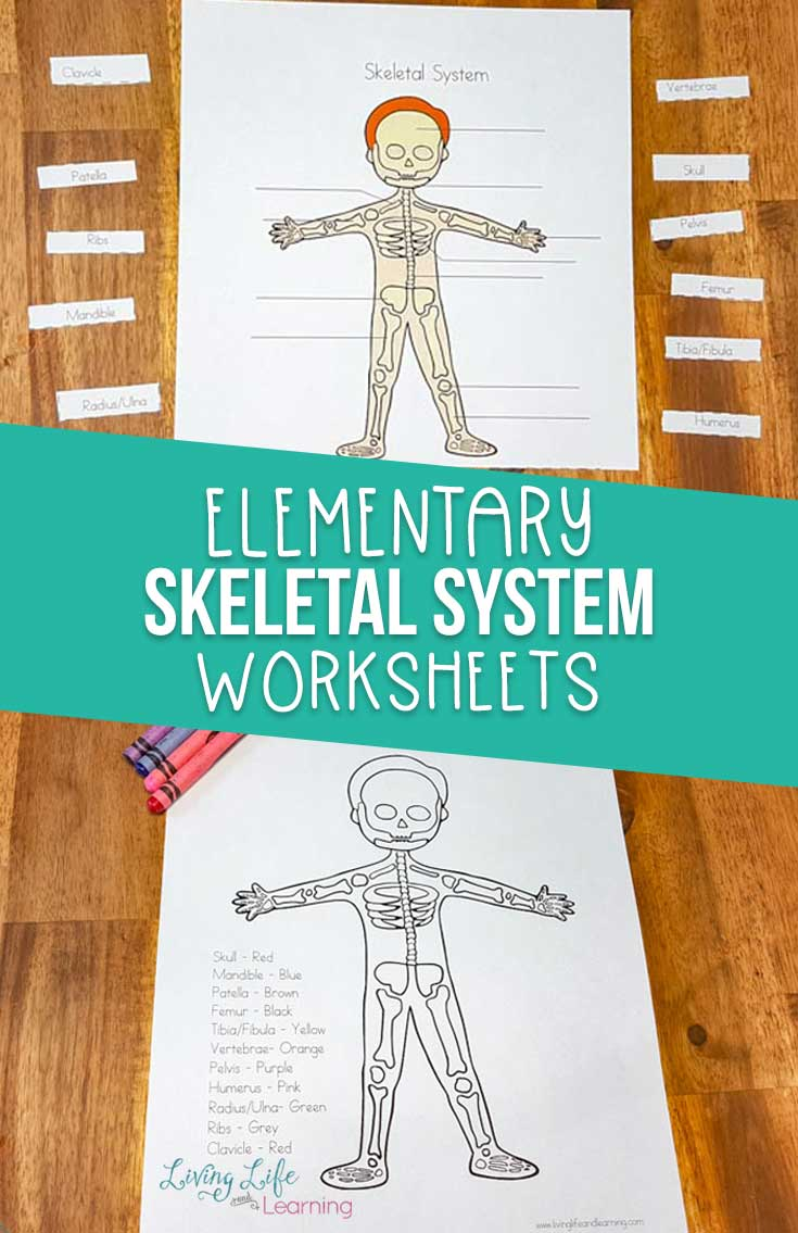 Is your child interested in the human body? Grab these skeletal system worksheets for kids to start learning about those bones. These skeletal system worksheets are perfect for lower elementary students who are starting to learn about each of the systems.