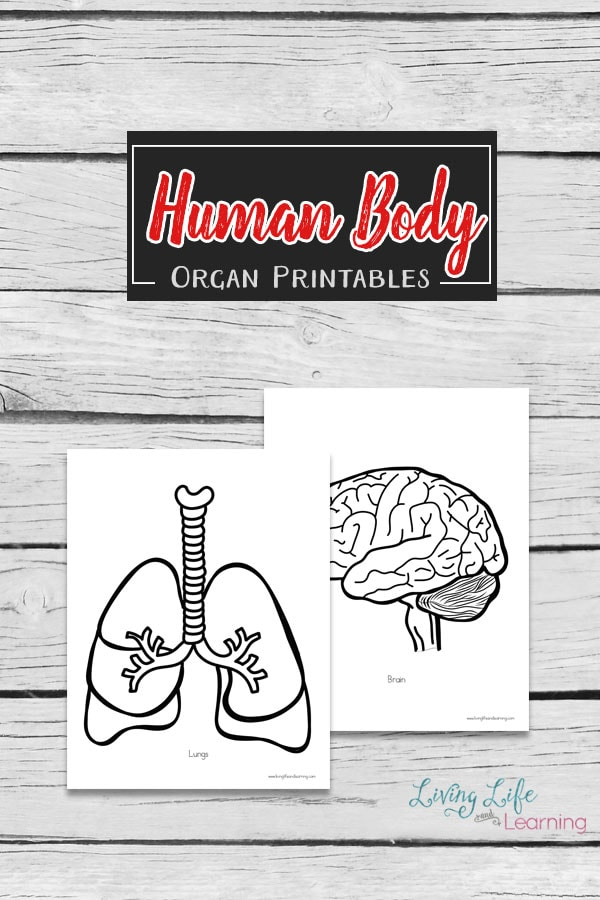 A hands-on way to learn about the human body with these large human body organs printables. Add them to your large human body outline.