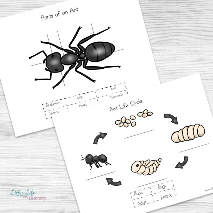 Learn all about ants with these adorable ant life cycle worksheets for kids