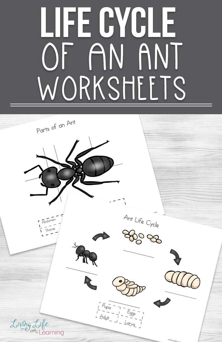 Get to know the different life stages of ants with these cute ant life cycle worksheets. How many parts of an ant can you find?