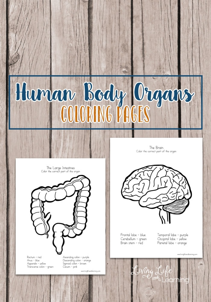 Are you learning about the human body? Learn about the different areas of each organ and label them by coloring these human body organs coloring pages