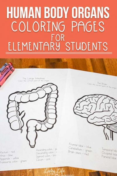 Are you learning about the human body? Learn about the different areas of each organ and label them by coloring these human body organs coloring pages!