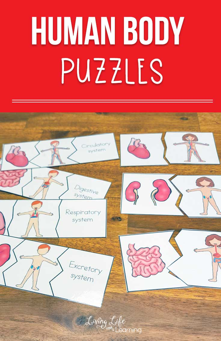 Have a blast learning about the human body with these fun human body puzzles to learn about the human body organs and the human body systems they belong to.