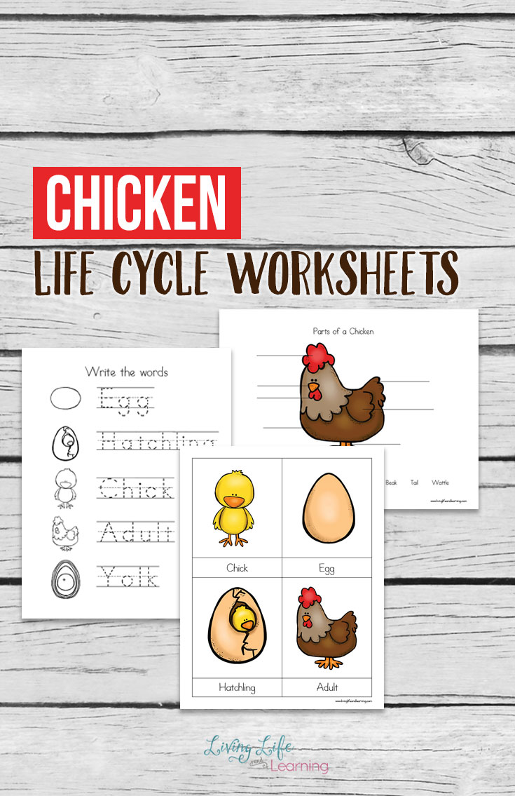 Chicken Life Cycle Worksheets for Kids