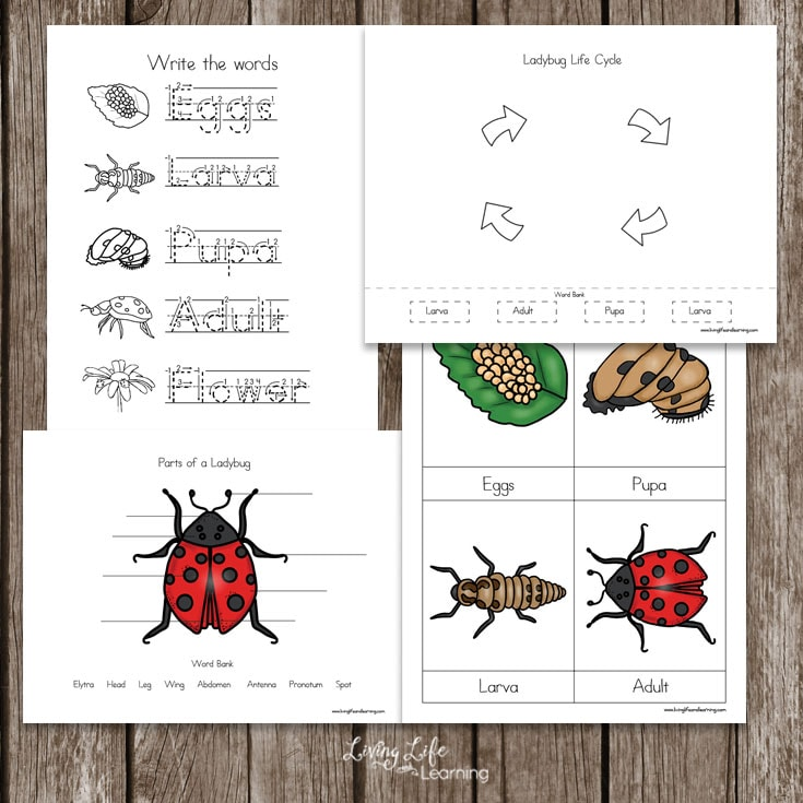 Free Ladybug Life Cycle Worksheets