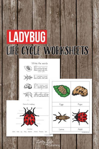 Ladybug Life Cycle Worksheets for Kids
