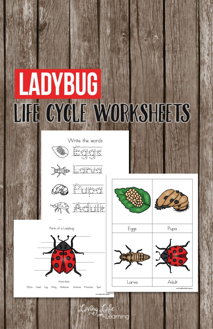 Ladybug Life Cycle Worksheets for Kids
