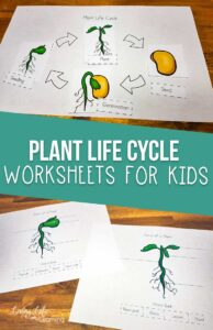 Life Cycle of Plants Worksheets