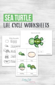 Have fun learning about sea turtles with these adorable sea turtle life cycle worksheets. See the parts of a sea turtle, their life cycle stages and more.