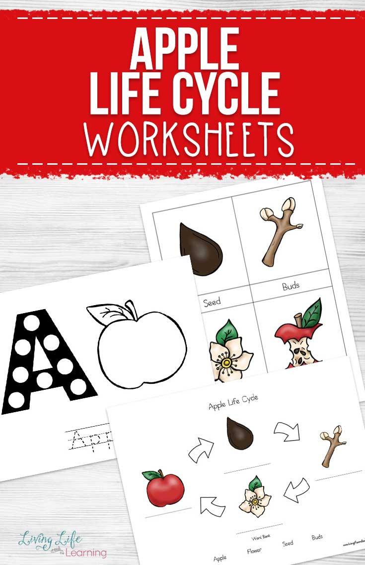 graphic about Free Printable Apple Worksheets called Apple Existence Cycle Worksheets