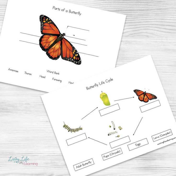 Grab these butterfly life cycle worksheets to see how butterflies grow from an egg to a caterpillar to a pretty butterfly