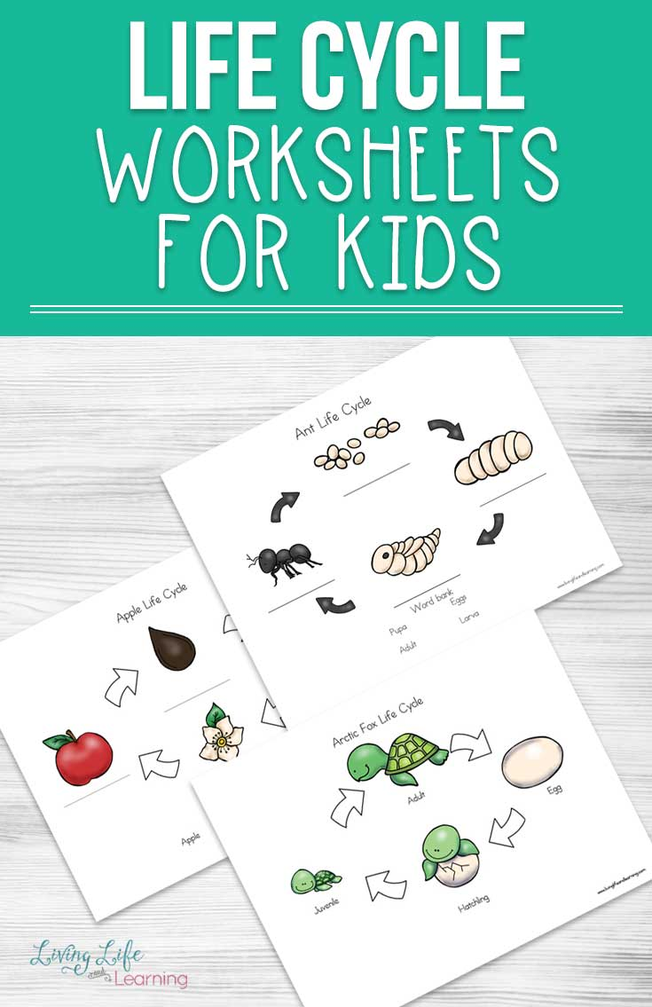 Use these life cycle worksheets for kids to explore insect, plant and animal life cycles with your kids and have fun doing it too! Watch how babies grow into their adult forms, life cycles are perfect ways to explore different species to see how their growth differs.