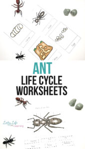 Ant Life Cycle Worksheets