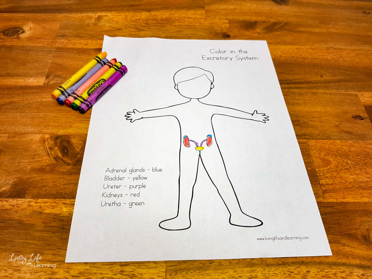 Excretory System Worksheets for Elementary Students, part of the human body unit