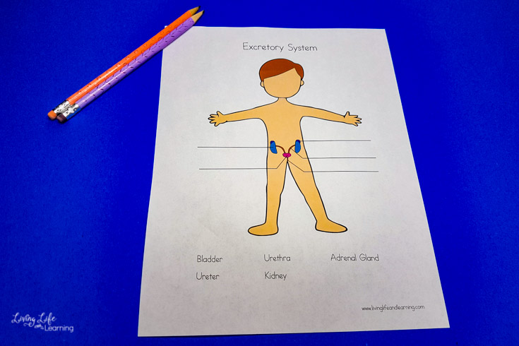 Excretory System Worksheets for Elementary Students
