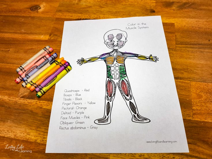 Elementary muscular system coloring page