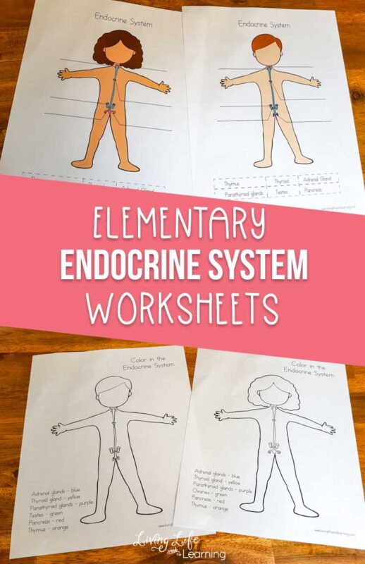 endocrine system worksheets for elementary students