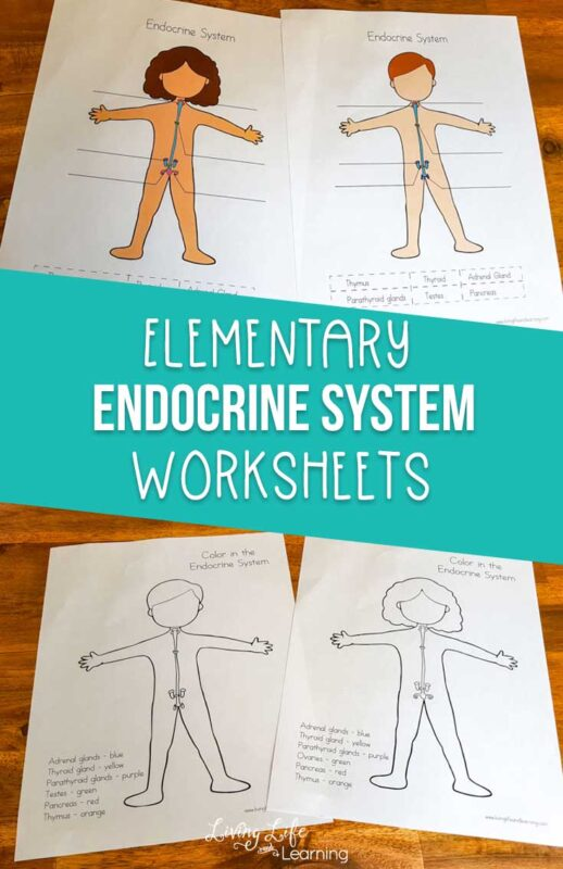 Elementary Endocrine System Worksheets