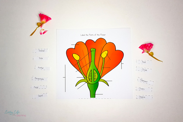 All the parts of a flower laid out ready to label the worksheet!