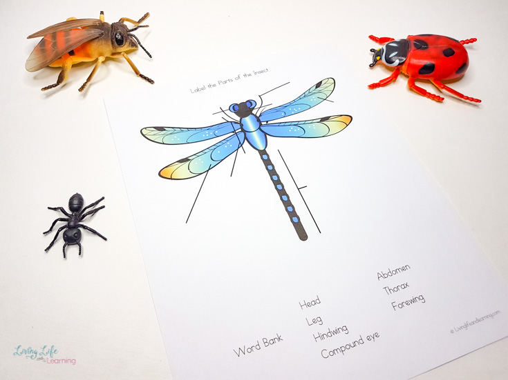 Printable Parts of an insect worksheet