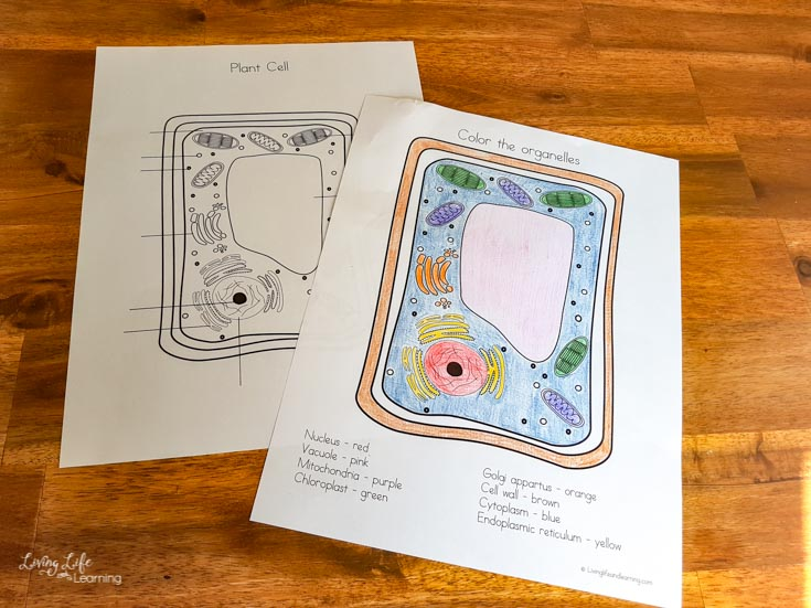 Example of the complete elementary plant cell coloring worksheet