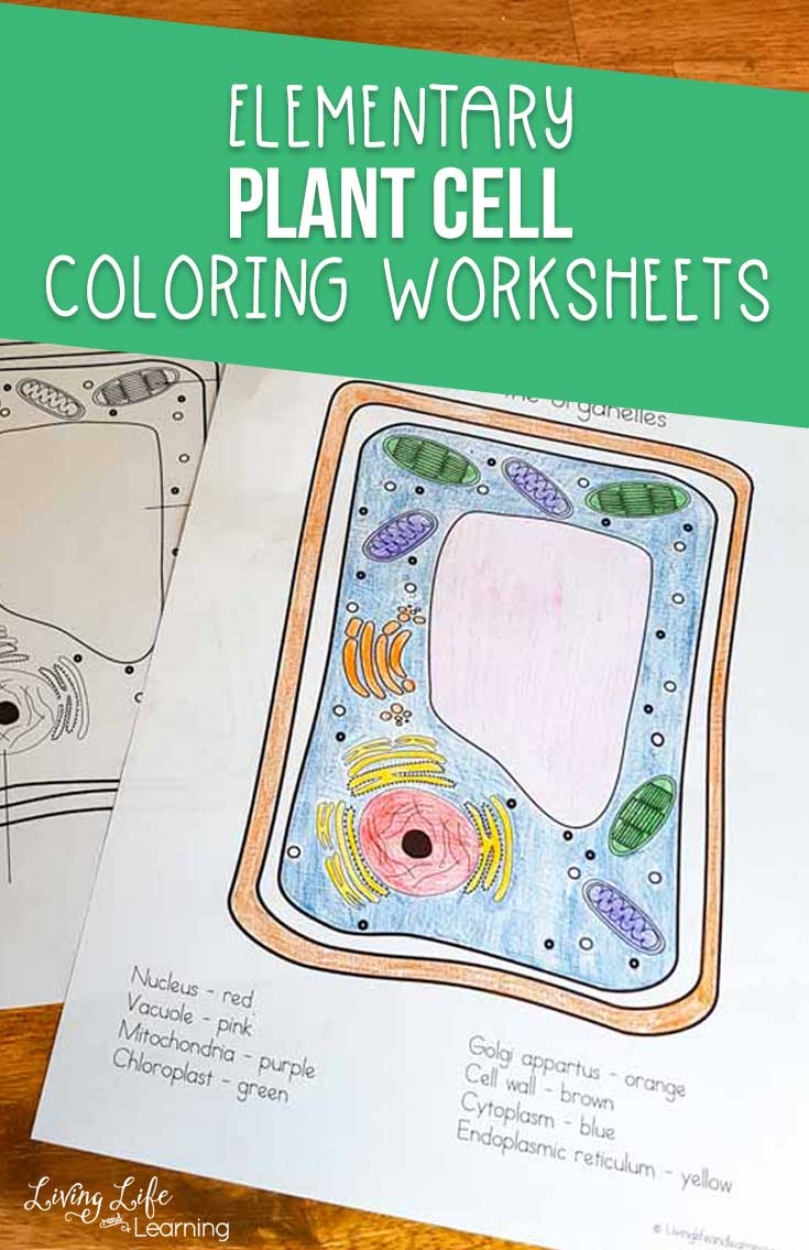 This plant cell coloring worksheet is the perfect introduction to learning all about plants. You can use it as a fun starting point for your study on plants