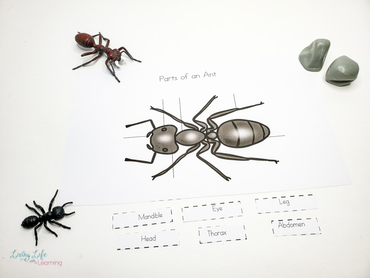 Parts of an ant worksheet