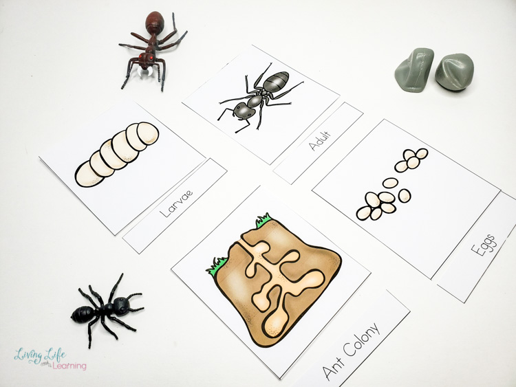 Ant life cycle 3 part cards