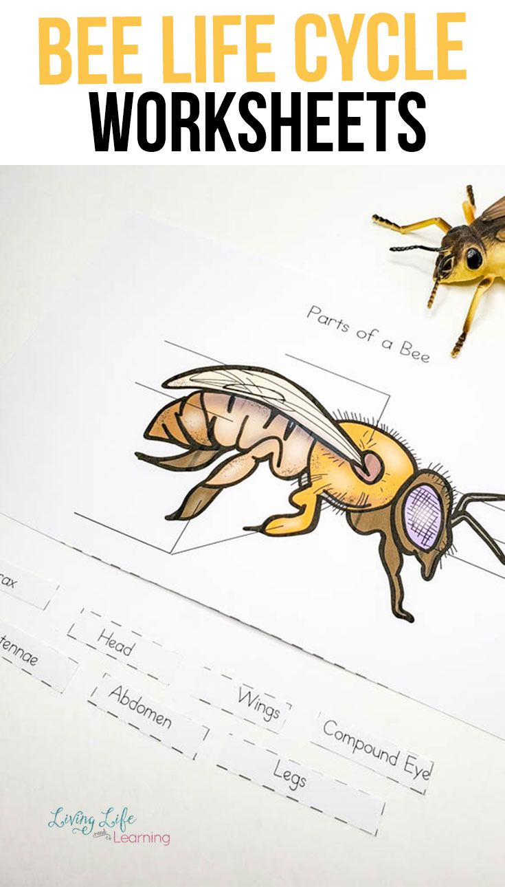 Learn all about the honey bee and how they grow with these honey bee life cycle worksheets.
