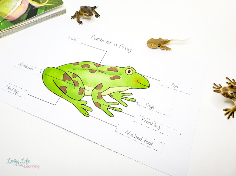Parts of a frog labelling worksheet