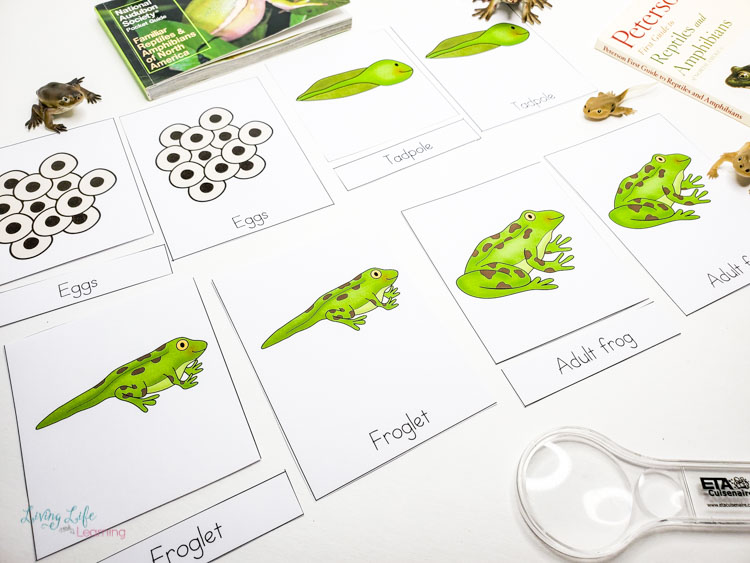 Frog life cycle 3 part cards