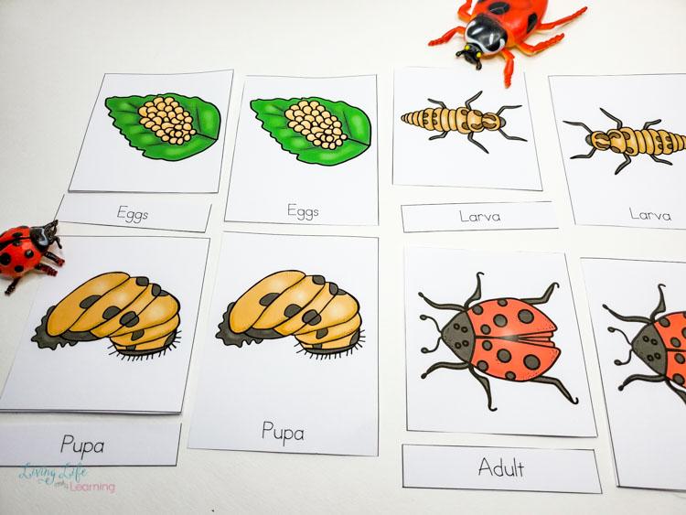 Ladybug life cycle 3 part cards