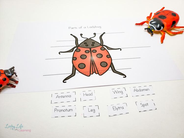 Parts of a ladybug worksheet