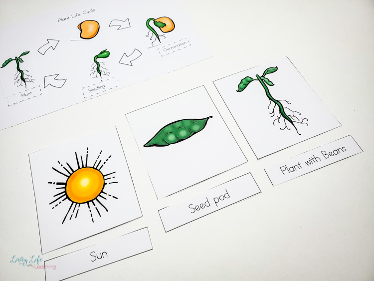 Life cycle for a plant for kids 3 part cards