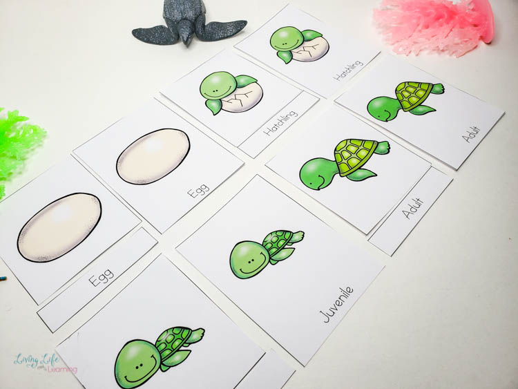 Sea turtle life cycle 3 part cards