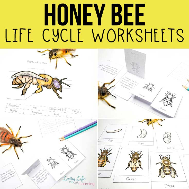 Honey bee life cycle worksheets