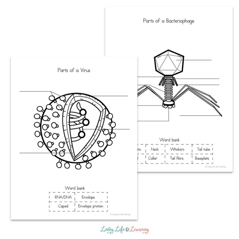 Learn all about viruses with these virus worksheets for kids. What are viruses, how do they make us sick and what's the difference from a bacteria?