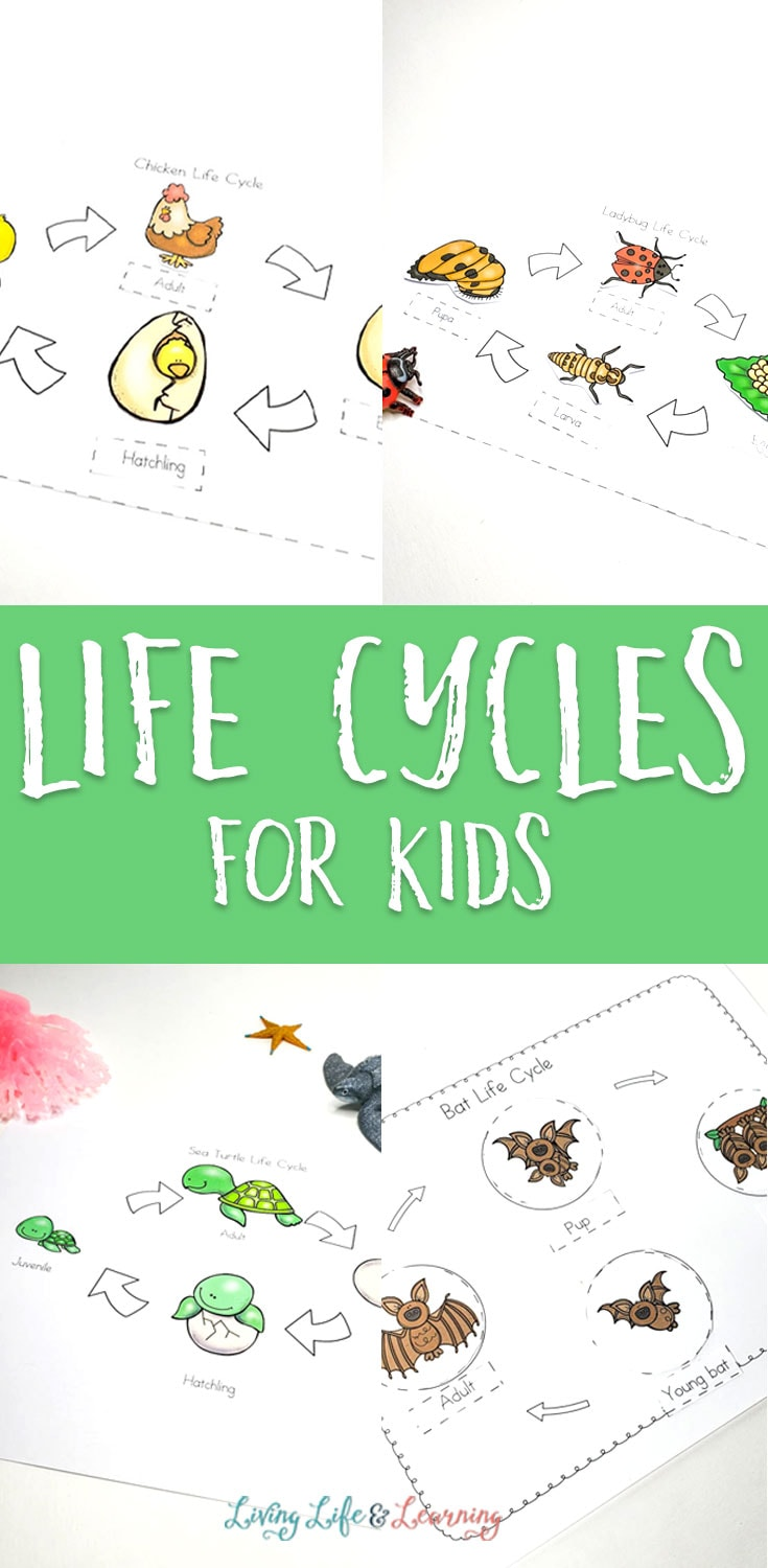 Life cycles for kids