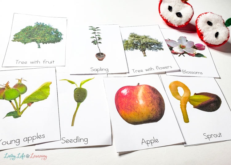Apple life cycle cards with real photos