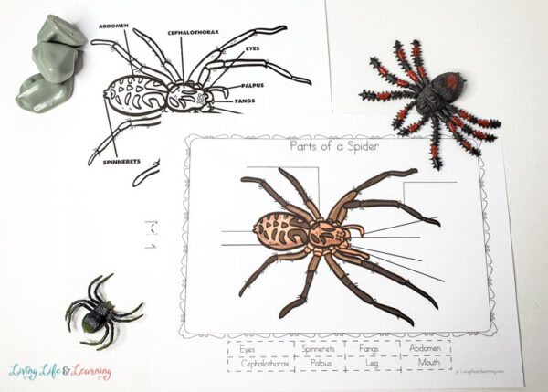 life cycle of a spider