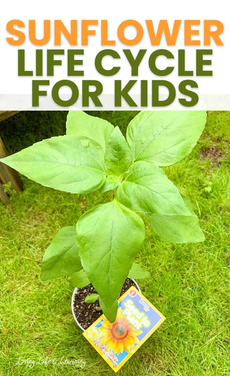sunflower life cycle for kids